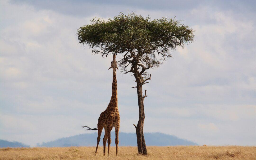 Giraf der spiser på savannen
