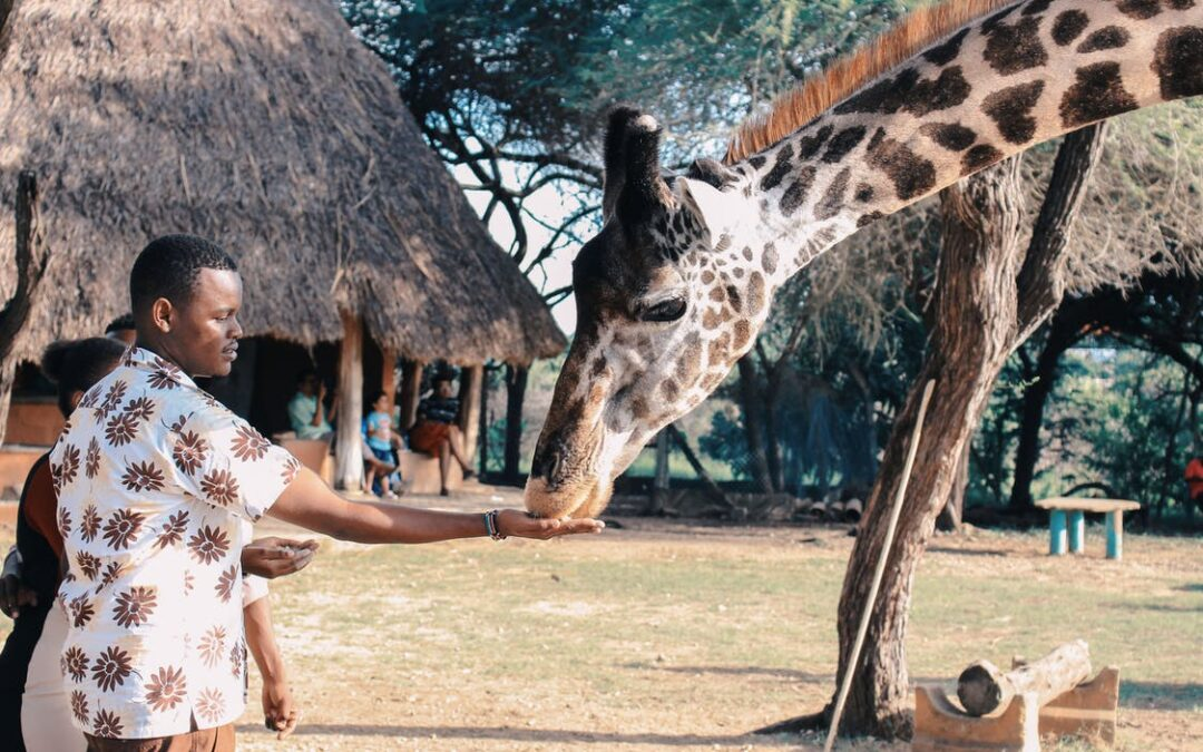 Mand fodrer giraf